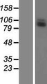 LRRC41 Protein - Western validation with an anti-DDK antibody * L: Control HEK293 lysate R: Over-expression lysate
