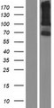 LRRC66 Protein - Western validation with an anti-DDK antibody * L: Control HEK293 lysate R: Over-expression lysate