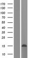 LSM8 / NAA38 Protein - Western validation with an anti-DDK antibody * L: Control HEK293 lysate R: Over-expression lysate