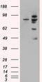 HEK293 overexpressing MDM2 (RC219518) and probed with (mock transfection in first lane).