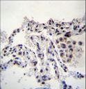 MEIG1 Antibody immunohistochemistry of formalin-fixed and paraffin-embedded human lung tissue followed by peroxidase-conjugated secondary antibody and DAB staining.
