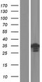 METTL11B Protein - Western validation with an anti-DDK antibody * L: Control HEK293 lysate R: Over-expression lysate