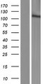 MGC50722 Protein - Western validation with an anti-DDK antibody * L: Control HEK293 lysate R: Over-expression lysate