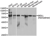MGLL / Monoacylglycerol Lipase Antibody - Western blot analysis of extracts of various cell lines.