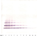 Anti-Human GRO-ß (CXCL2) Western Blot Unreduced