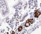 Ki67 Antibody - Detection of Ki67 in formalin-fixed paraffin embedded mouse intestine.  This image was taken for the unconjugated form of this product. Other forms have not been tested.