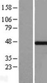 MKRN2 Protein - Western validation with an anti-DDK antibody * L: Control HEK293 lysate R: Over-expression lysate