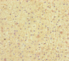 MOCS2 Antibody - Immunohistochemistry of paraffin-embedded human adrenal gland tissue at dilution of 1:100