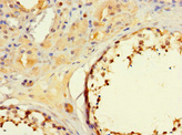 Paraffin-embedding Immunohistochemistry using human testis tissue at dilution 1:100