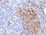 IHC testing of FFPE human pancreas with Ferritin Light Chain antibody (clone FTL/1386). Required HIER: boil tissue sections in 10mM citrate buffer, pH 6, for 10-20 min.