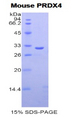 PRDX4 / Peroxiredoxin 4 Protein - Recombinant Peroxiredoxin 4 By SDS-PAGE