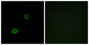 Immunofluorescence analysis of A549 cells, using MRGX4 Antibody. The picture on the right is blocked with the synthesized peptide.