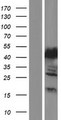 MTHFSD Protein - Western validation with an anti-DDK antibody * L: Control HEK293 lysate R: Over-expression lysate