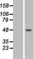 MTRF1 Protein - Western validation with an anti-DDK antibody * L: Control HEK293 lysate R: Over-expression lysate