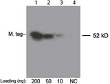 Myc Tag Antibody - Lane 1-3: 200 ng, 50 ng, 10 ng Multiple Tag Cell Lysate Lane 4: Negative Control Detect antibody: 0.1 ug/ml THETM Anti-c-Myc [Biotin] Monoclonal Antibody (Mouse) THETM c-Myc Antibody [Biotin], mAb, Mouse Secondary antibody: Streptavidin-HRP The signal was developed with LumiSensor HRP Substrate Kit This image was taken for the unconjugated form of this product. Other forms have not been tested.
