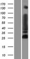 MYT1L Protein - Western validation with an anti-DDK antibody * L: Control HEK293 lysate R: Over-expression lysate