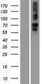 NBEA / Neurobeachin Protein - Western validation with an anti-DDK antibody * L: Control HEK293 lysate R: Over-expression lysate