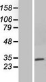 NEURL2 Protein - Western validation with an anti-DDK antibody * L: Control HEK293 lysate R: Over-expression lysate