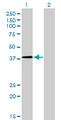 Western blot of NFYC expression in transfected 293T cell line by NFYC monoclonal antibody (M01), clone 1D3.