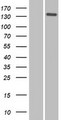 NID2 / Nidogen-2 Protein - Western validation with an anti-DDK antibody * L: Control HEK293 lysate R: Over-expression lysate