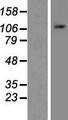 NLRP11 Protein - Western validation with an anti-DDK antibody * L: Control HEK293 lysate R: Over-expression lysate