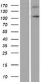 NLRP9 Protein - Western validation with an anti-DDK antibody * L: Control HEK293 lysate R: Over-expression lysate