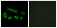 Immunofluorescence analysis of A549 cells, using NT5C1B Antibody. The picture on the right is blocked with the synthesized peptide.