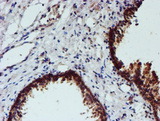 NUBPL Antibody - IHC of paraffin-embedded Human prostate tissue using anti-NUBPL mouse monoclonal antibody. (Heat-induced epitope retrieval by 10mM citric buffer, pH6.0, 100C for 10min).