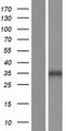 NXPH4 Protein - Western validation with an anti-DDK antibody * L: Control HEK293 lysate R: Over-expression lysate