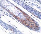 OPA1 Antibody (1E8-1D9) - IHC of OPA1 on mouse skin.