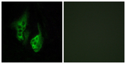 Immunofluorescence analysis of HeLa cells, using OPN5 Antibody. The picture on the right is blocked with the synthesized peptide.