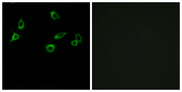 Immunofluorescence analysis of MCF7 cells, using OR10S1 Antibody. The picture on the right is blocked with the synthesized peptide.