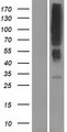 OR2T12 Protein - Western validation with an anti-DDK antibody * L: Control HEK293 lysate R: Over-expression lysate