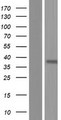 OR2Z Protein - Western validation with an anti-DDK antibody * L: Control HEK293 lysate R: Over-expression lysate