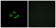 OR4C12 Antibody - Immunofluorescence analysis of A549 cells, using OR4C12 Antibody. The picture on the right is blocked with the synthesized peptide.