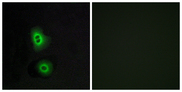 Immunofluorescence analysis of A549 cells, using OR4C16 Antibody. The picture on the right is blocked with the synthesized peptide.