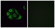 OR4P4 Antibody - Immunofluorescence analysis of A549 cells, using OR4P4 Antibody. The picture on the right is blocked with the synthesized peptide.