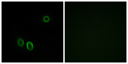 Immunofluorescence analysis of A549 cells, using OR51E1 Antibody. The picture on the right is blocked with the synthesized peptide.