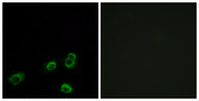 OR52A1 Antibody - Immunofluorescence analysis of MCF7 cells, using OR52A1 Antibody. The picture on the right is blocked with the synthesized peptide.