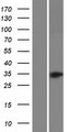 OR52B4 Protein - Western validation with an anti-DDK antibody * L: Control HEK293 lysate R: Over-expression lysate