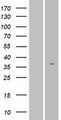 OR56A3 Protein - Western validation with an anti-DDK antibody * L: Control HEK293 lysate R: Over-expression lysate