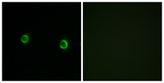 OR5AS1 Antibody - Immunofluorescence analysis of LOVO cells, using OR5AS1 Antibody. The picture on the right is blocked with the synthesized peptide.