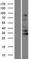OR5J2 Protein - Western validation with an anti-DDK antibody * L: Control HEK293 lysate R: Over-expression lysate