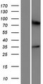 OR5M10 Protein - Western validation with an anti-DDK antibody * L: Control HEK293 lysate R: Over-expression lysate