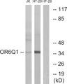 OR6Q1 Antibody - Western blot analysis of lysates from Jurkat and HT-29 cells, using OR6Q1 Antibody. The lane on the right is blocked with the synthesized peptide.