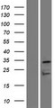 OR7D4 Protein - Western validation with an anti-DDK antibody * L: Control HEK293 lysate R: Over-expression lysate