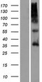 OR9G4 Protein - Western validation with an anti-DDK antibody * L: Control HEK293 lysate R: Over-expression lysate