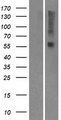 OR9I1 Protein - Western validation with an anti-DDK antibody * L: Control HEK293 lysate R: Over-expression lysate