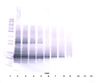 Anti-Human Oncostatin M Western Blot Unreduced