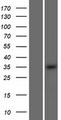 OSR2 Protein - Western validation with an anti-DDK antibody * L: Control HEK293 lysate R: Over-expression lysate